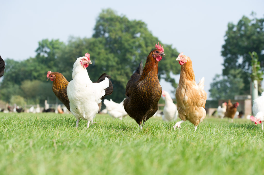 Heritage Breed Happy Egg Co. Hens loving life on over 8 acres of pasture.